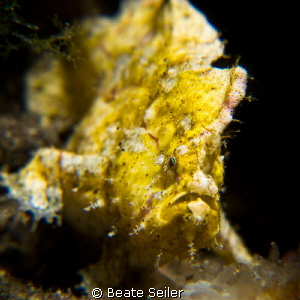 Small frogfish on a nightdive by Beate Seiler